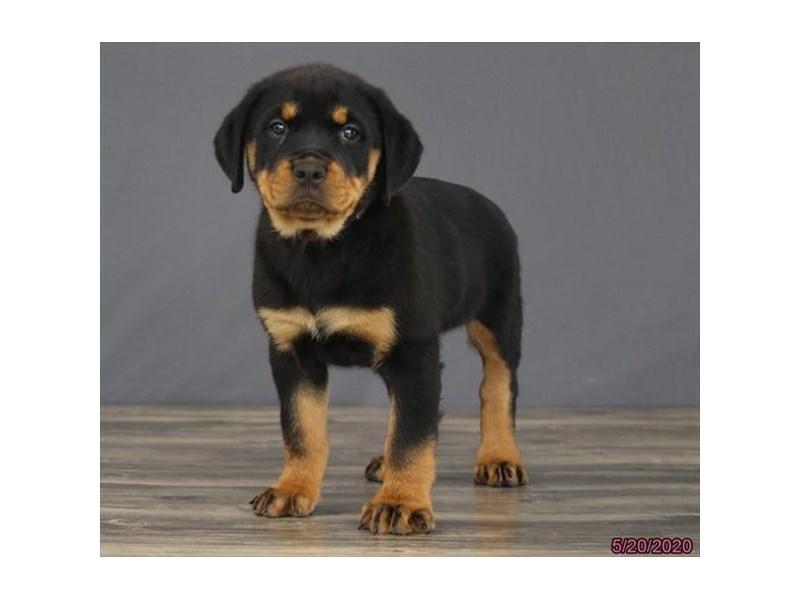 Rottweiler-Female-Black / Tan-2720154-Petland Lewis Center