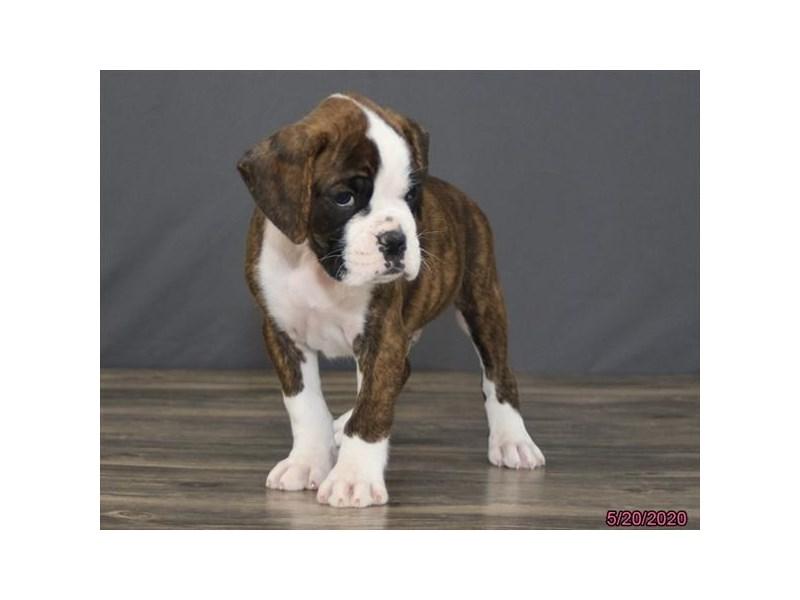 Boxer-Male-Brindle / White-2720156-Petland Lewis Center