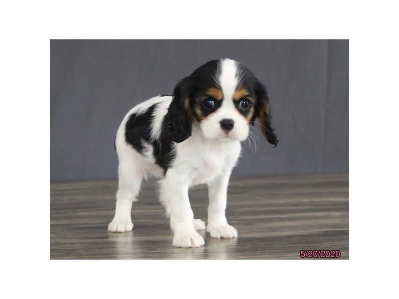 Cavalier King Charles Spaniel-Female-Tri-Colored-2720161-Petland Lewis Center