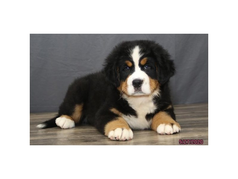 Bernese Mountain Dog-Male-Black Tan / White-2727525-Petland Lewis Center