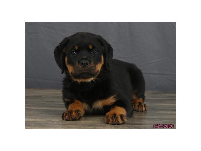 Rottweiler-Female-Black / Tan-2727528-Petland Lewis Center