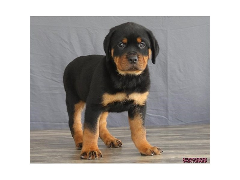 Rottweiler-Male-Black / Tan-2727529-Petland Lewis Center