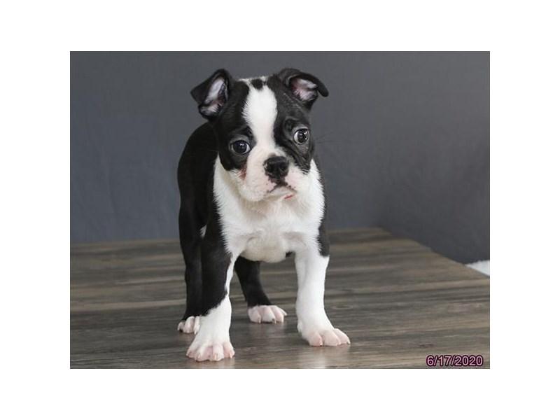 Boston Terrier-Male-Black / White-2749021-Petland Lewis Center