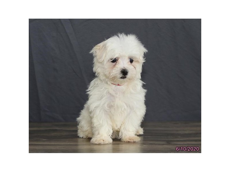 Maltese-Female-White-2741762-Petland Lewis Center