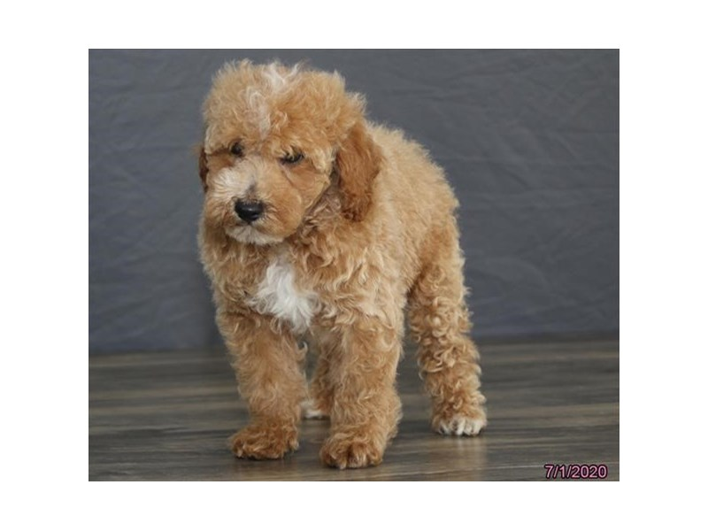 Poodle-Male-Apricot-2764161-Petland Lewis Center