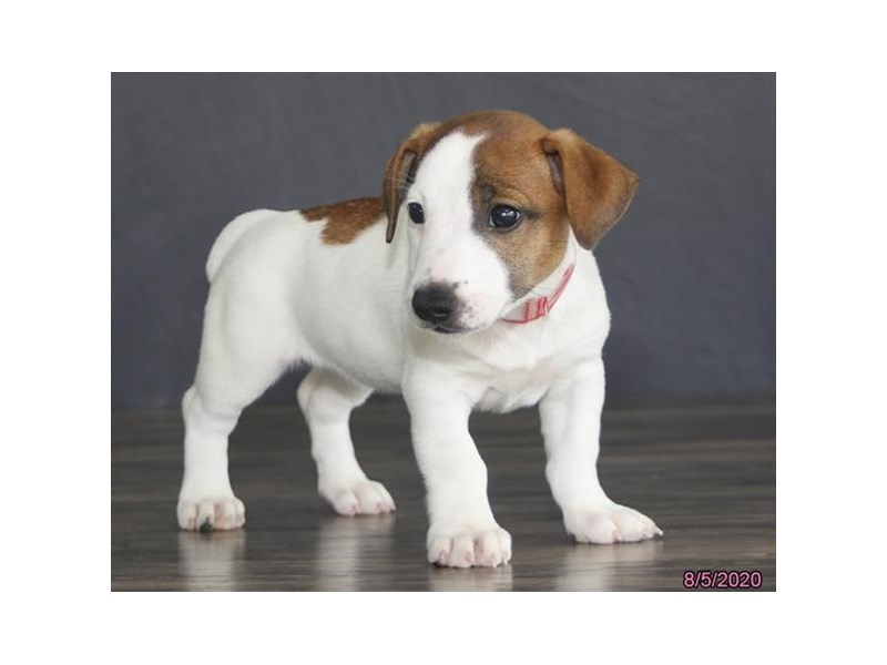 Jack Russell Terrier-Female-Brown / White-2801368-Petland Lewis Center