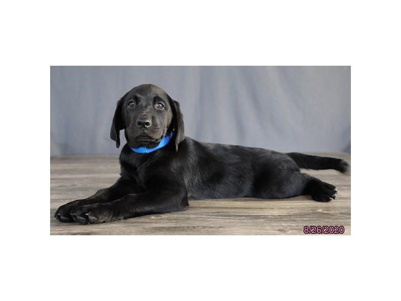 Labrador Retriever-Female-Black-2824442-Petland Lewis Center