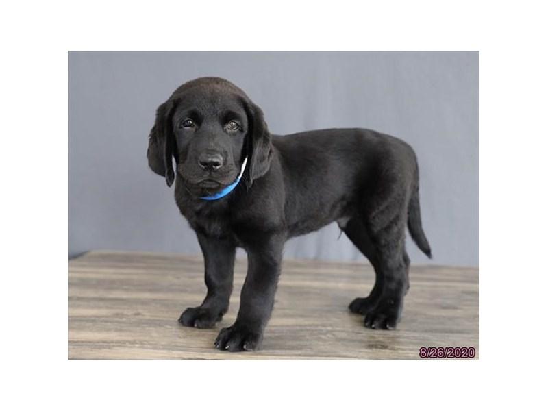 Labrador Retriever-Male-Black-2824443-Petland Lewis Center