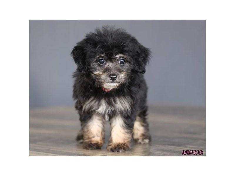 Chipoo-Female-Black-2839472-Petland Lewis Center