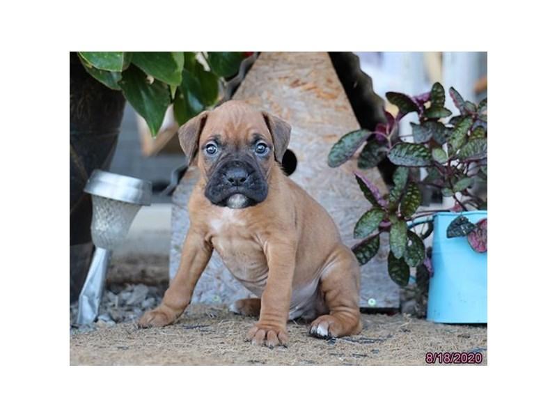 Boxer-Male-Fawn-2839482-Petland Lewis Center