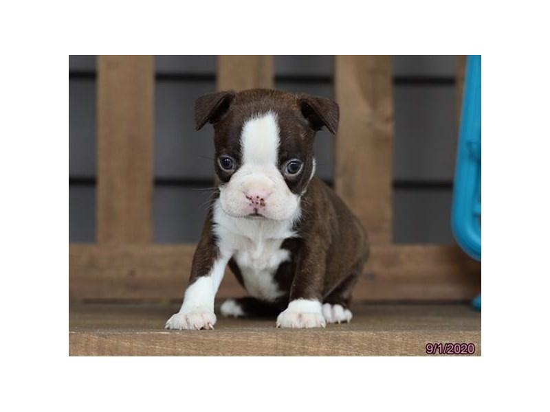 Boston Terrier-Female-Seal Brindle / White-2861498-Petland Lewis Center