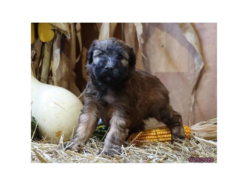 Soft Coated Wheaten Terrier-Male-Wheaten-2882895-Petland Lewis Center