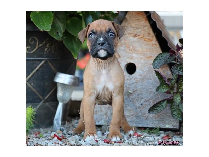 Boxer-Female-Fawn / White-2839483-Petland Lewis Center