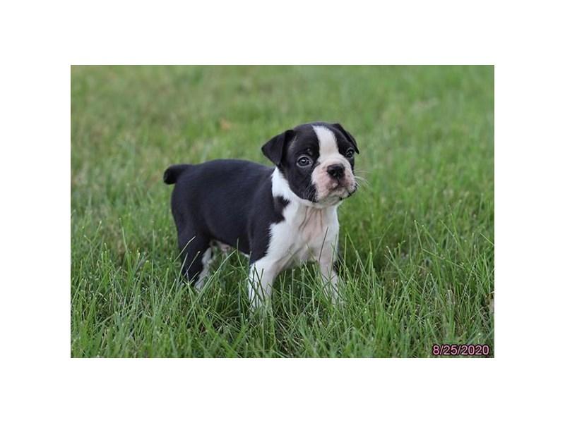Boston Terrier-Male-Black / White-2846880-Petland Lewis Center