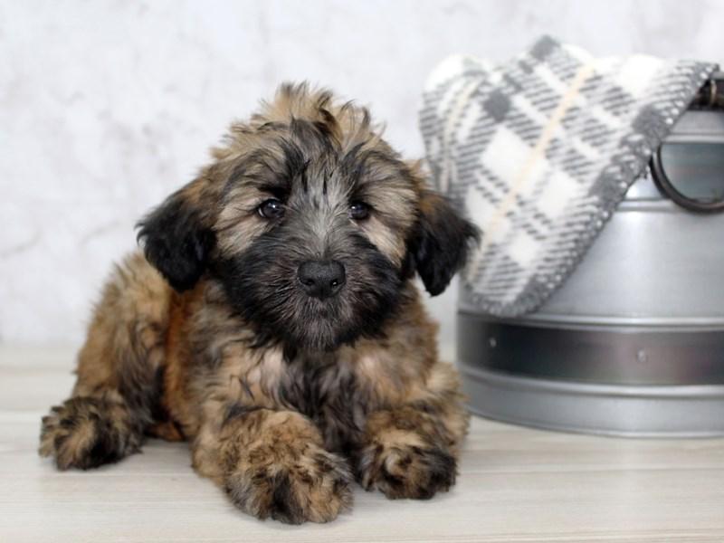 Soft Coated Wheaten Terrier-Male-Wheaten-2868911-Petland Lewis Center