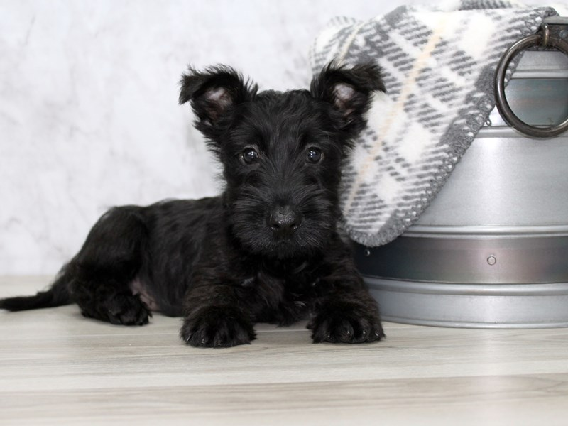 Scottish Terrier-Male-Black-2876260-Petland Lewis Center