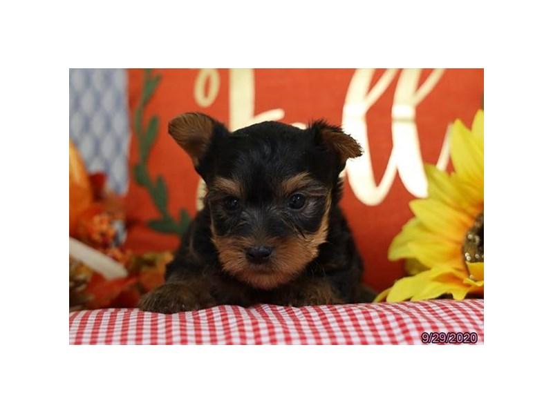 Silky Terrier-Male-Black / Tan-2882899-Petland Lewis Center