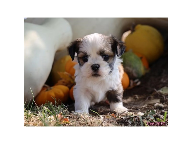 Lhasa Apso-Male-Red Sable-2889620-Petland Lewis Center