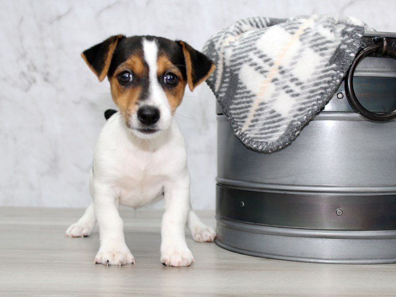 Jack Russell Terrier-Male-Tri-2896410-Petland Lewis Center