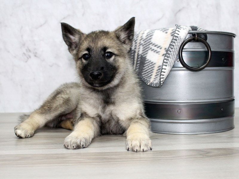 Norwegian Elkhound-Male-Black / Silver-2882893-Petland Lewis Center