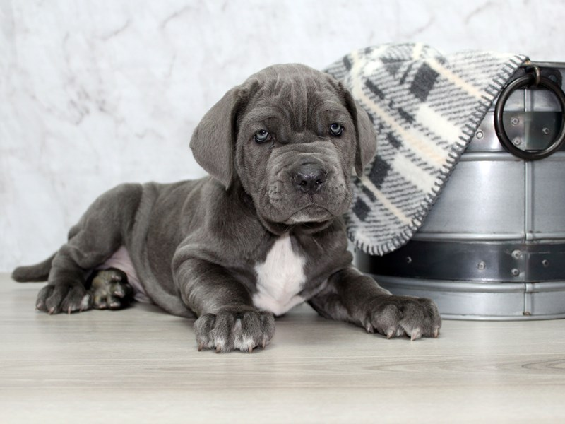 Neapolitan Mastiff-Male-Blue-2925130-Petland Lewis Center
