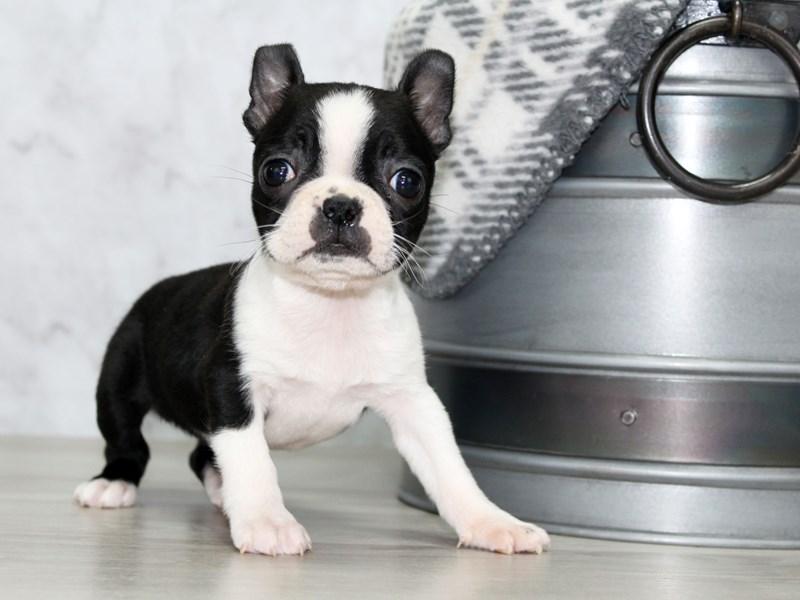 Boston Terrier-Female-Black-2933048-Petland Lewis Center