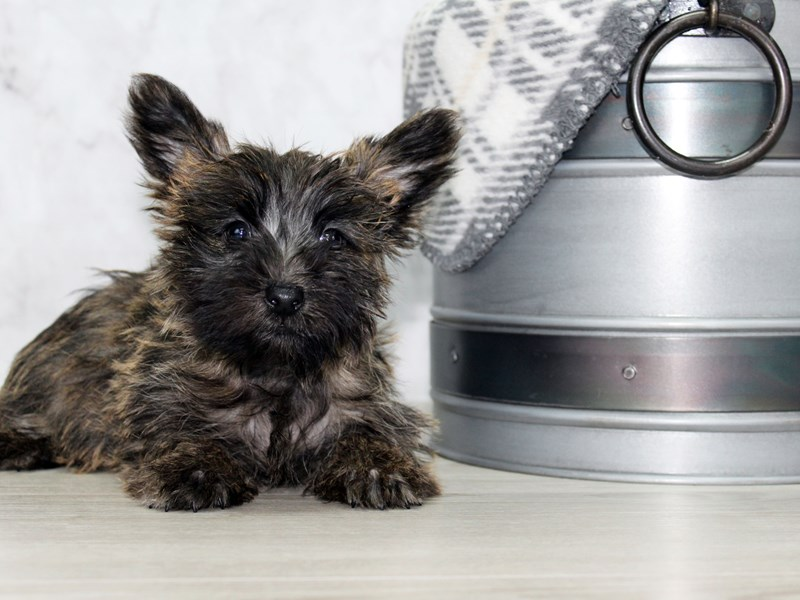 Cairn Terrier-DOG-Male-Brindle-2933042-Petland Lewis Center