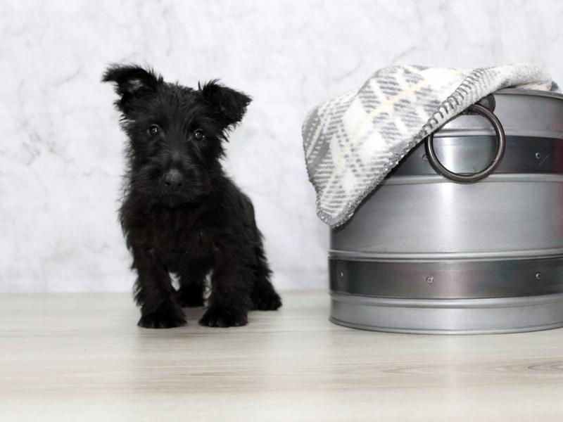 Scottish Terrier-Male-Black-2917617-Petland Lewis Center