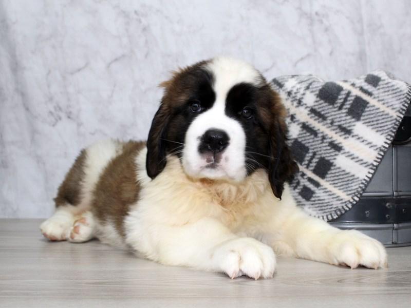 Saint Bernard-DOG-Female-Brown / White-2925080-Petland Lewis Center