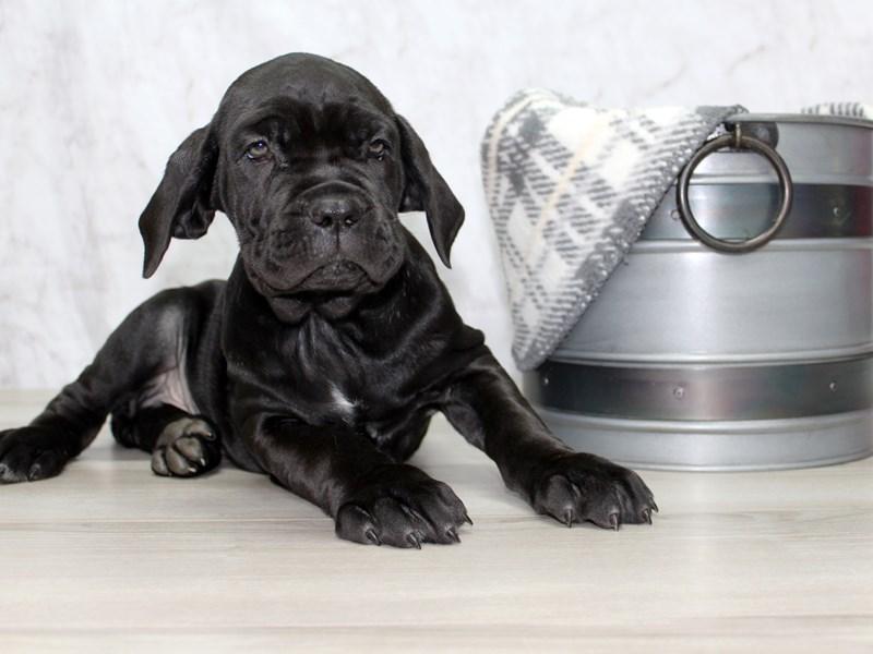 Neapolitan Mastiff-Male-Black-2941247-Petland Lewis Center