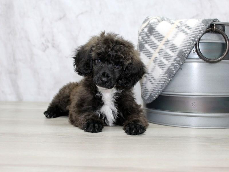 Poodle-Male-Grizzle-2925072-Petland Lewis Center