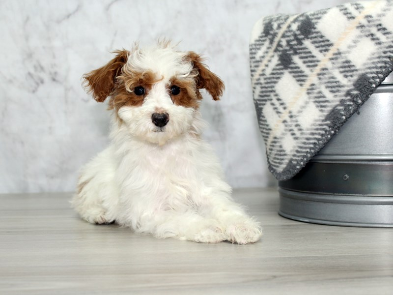Poodle-Female-Red / White-2954981-Petland Lewis Center