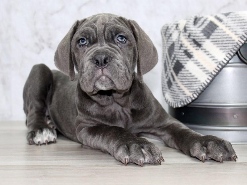 Neapolitan Mastiff-Female-Blue-2987133-Petland Lewis Center