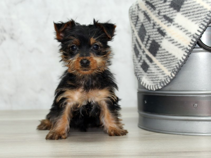 Silky Terrier-Female-Black / Tan-2997067-Petland Lewis Center