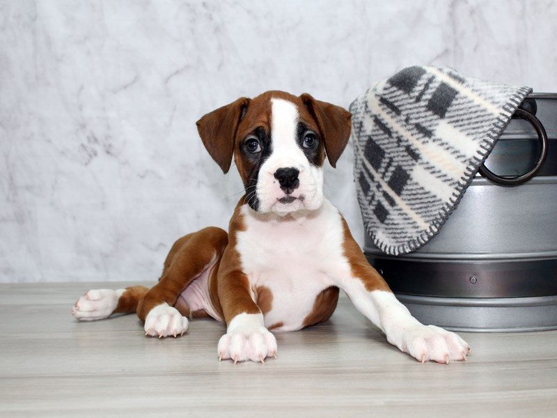 Boxer-Male-Fawn / White-2997064-Petland Lewis Center