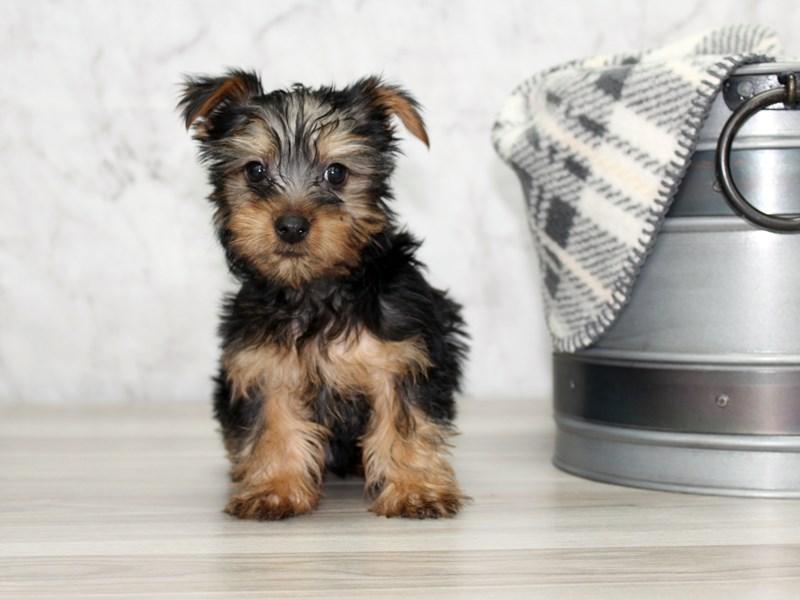 Silky Terrier-Male-Black / Tan-3005544-Petland Lewis Center