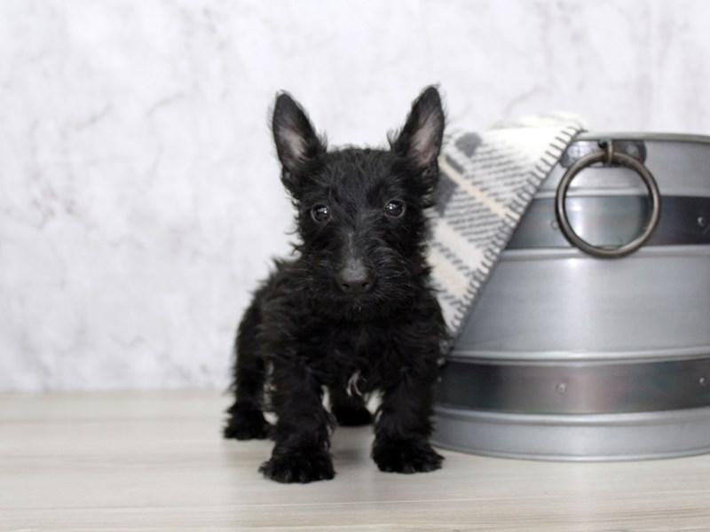 Scottish Terrier-Male-Black-3025060-Petland Lewis Center