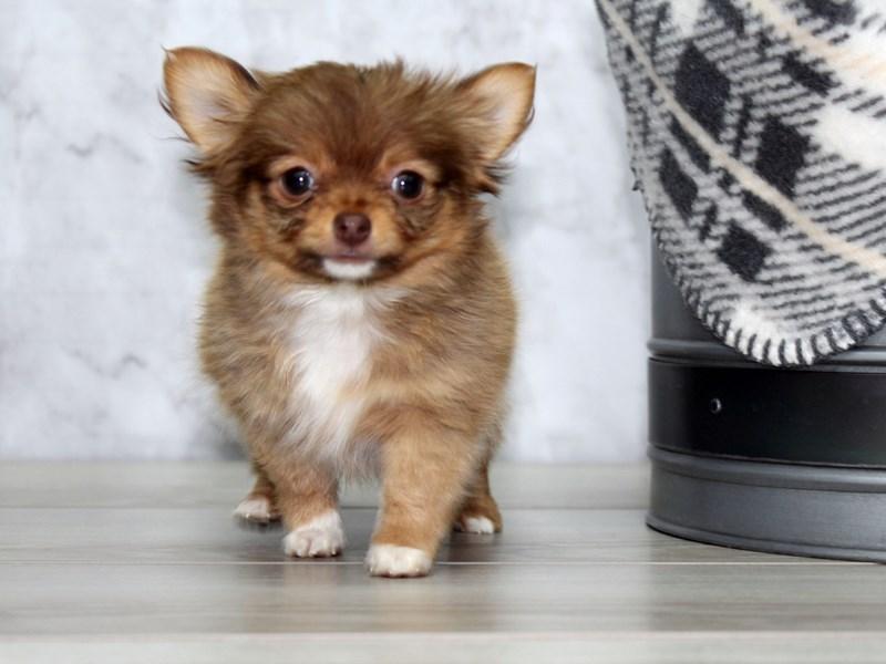 Chihuahua-Male-Chocolate Fawn-3044784-Petland Lewis Center