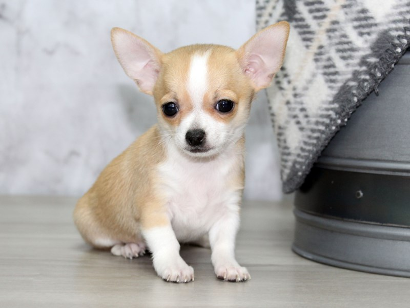 Chihuahua-Male-Fawn-2963644-Petland Lewis Center