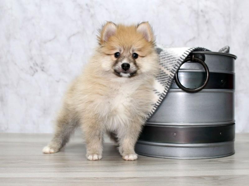 Pomeranian-Male-Sbl-2987594-Petland Lewis Center