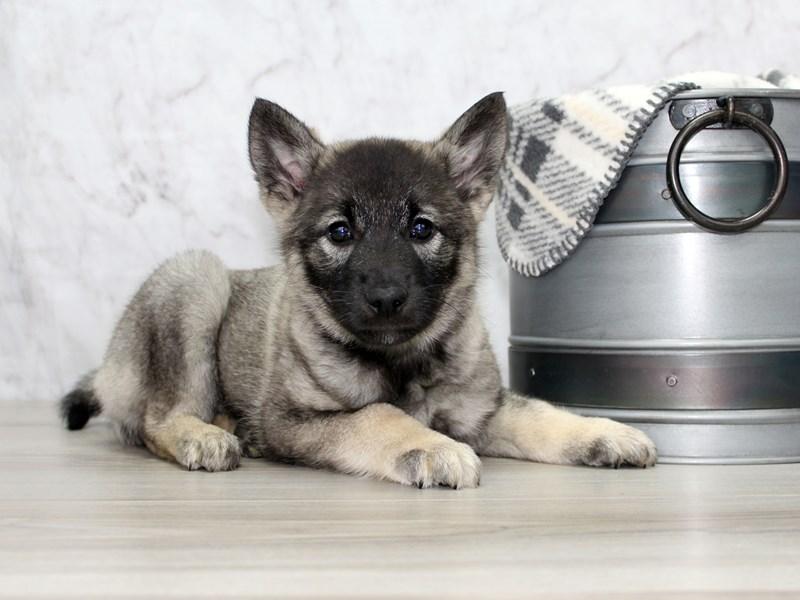 Norwegian Elkhound-Female-Black / Silver-3014946-Petland Lewis Center