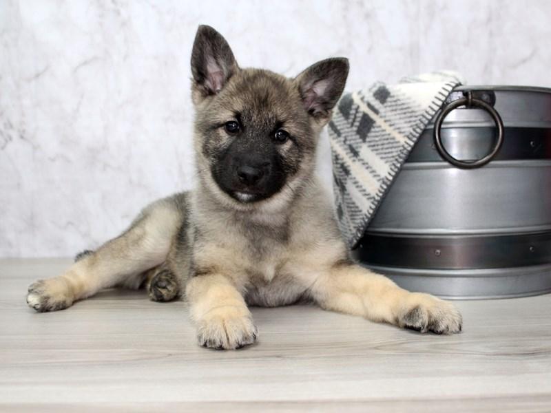 Norwegian Elkhound-Male-Black / Silver-3025028-Petland Lewis Center