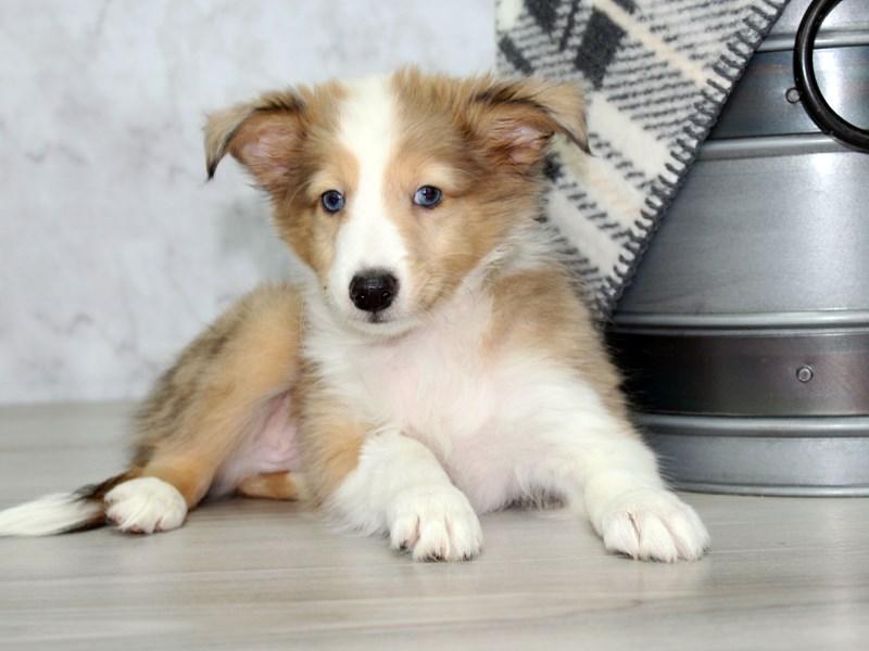 Shetland Sheepdog-Male-Sable / White-3025034-Petland Lewis Center