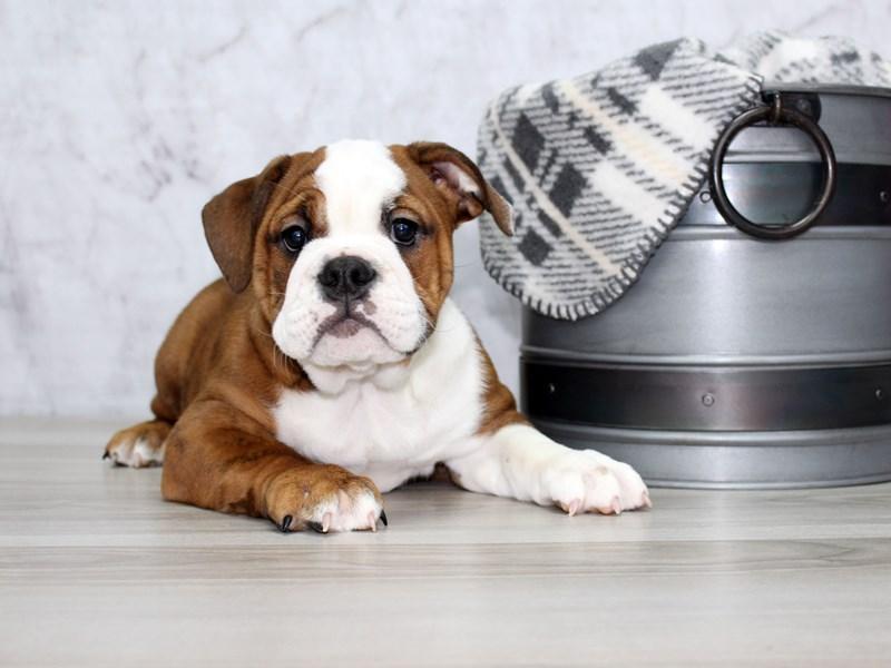 Victorian Bulldog-Female-Brindle / White-3055735-Petland Lewis Center