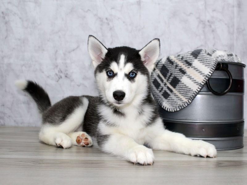 Siberian Husky-Female-Black / White-3055686-Petland Lewis Center