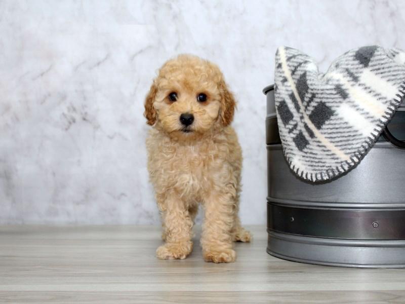 Poodle-Male-Apricot-3055682-Petland Lewis Center