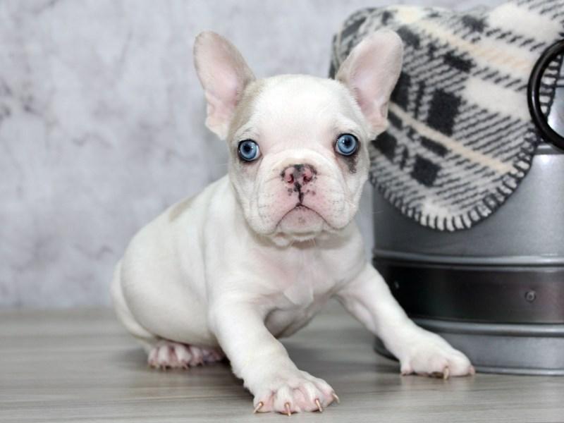 French Bulldog-Male-Lilac-3055687-Petland Lewis Center
