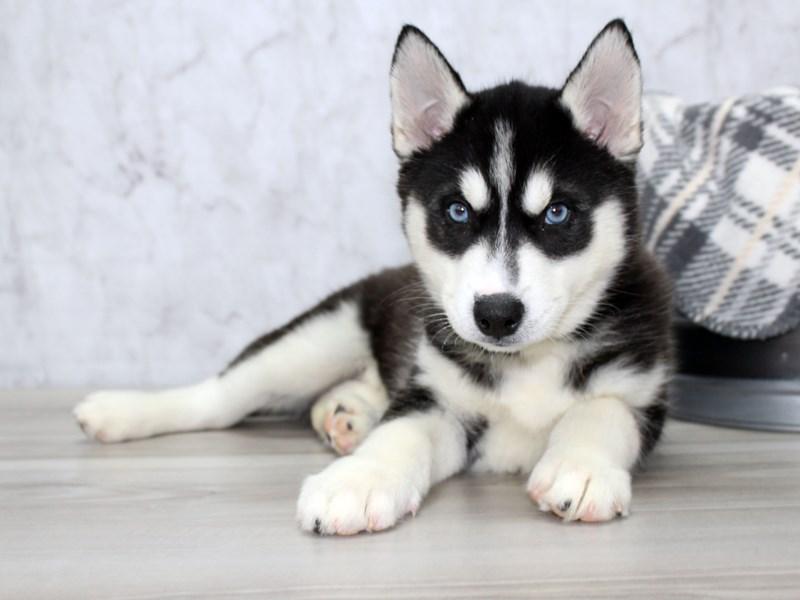Siberian Husky-Female-Black / White-3061828-Petland Lewis Center