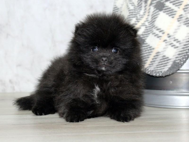 Pomeranian-Male-Black-3061837-Petland Lewis Center