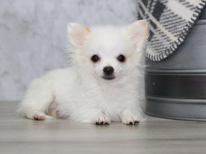 Chihuahua-Male-White-3077276-Petland Lewis Center